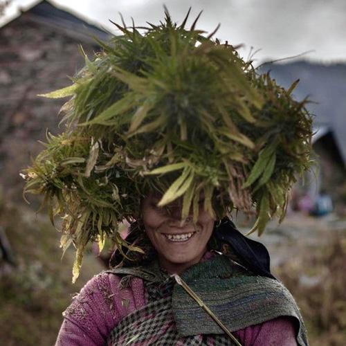 В индий марихуана сорта марихуаны для гидропоники
